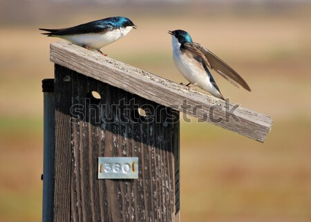 Tree Swallows Stock photo © brm1949