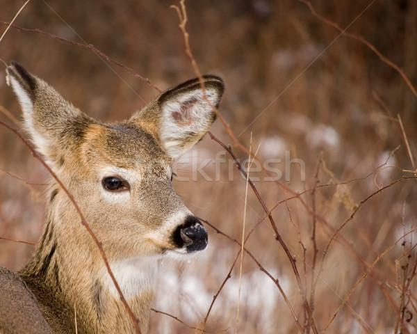 Stock photo: Button Buck