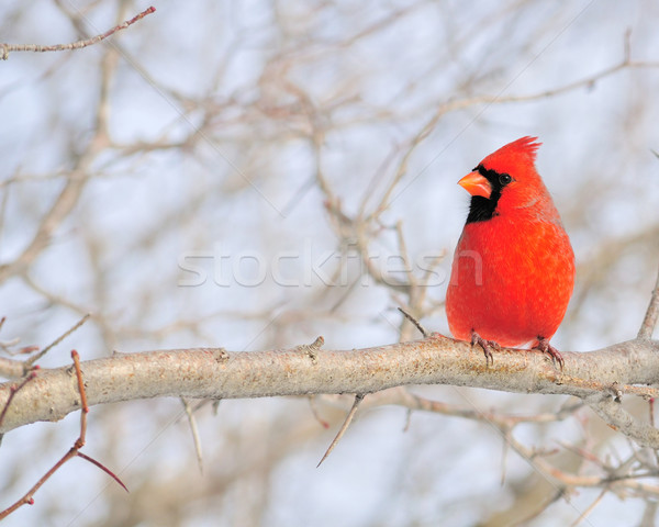 Cardinal (Cardinalis cardinalis) Stock photo © brm1949