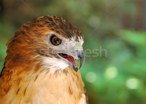 Red-tailed Hawk Stock photo © brm1949
