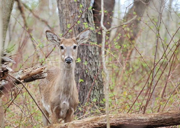 Szarvas gomb dolcsi áll erdő Stock fotó © brm1949