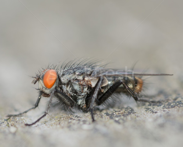 A Perched Fly Stock photo © brm1949