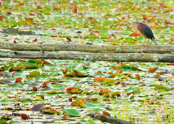 青 鷺 ツリー 肢 沼 ストックフォト © brm1949