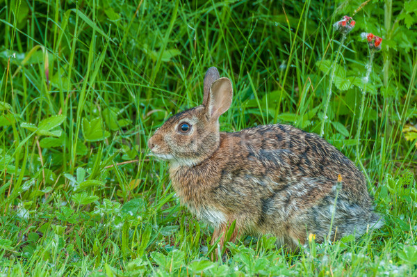 Cottontail Rabbit Stock photo © brm1949