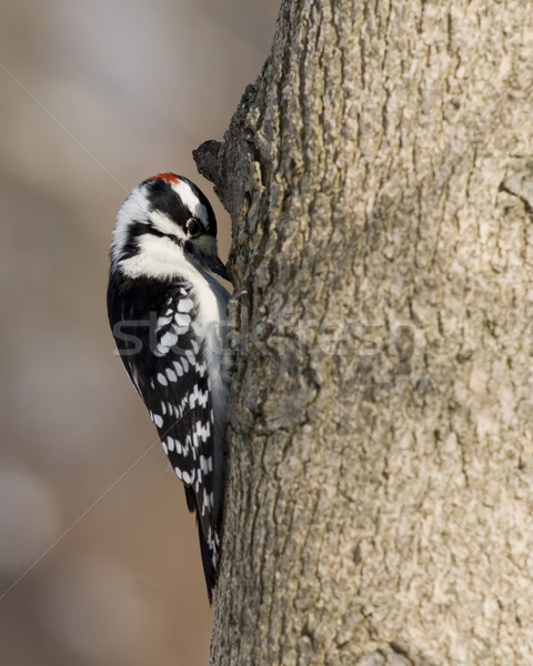 Downy Woodpecker (Picoides pubescens) Stock photo © brm1949