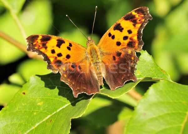 Grigio virgola farfalla impianto foglia Foto d'archivio © brm1949