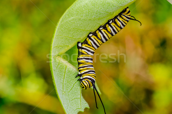 Monarch Butterfly Caterpillar  Stock photo © brm1949