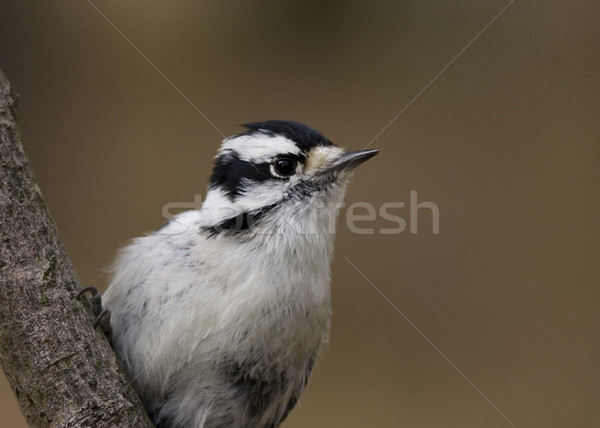 Downy Woodepecker (Picoides pubescens) Stock photo © brm1949