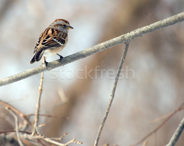 American Tree Sparrow On Branch Stock photo © brm1949