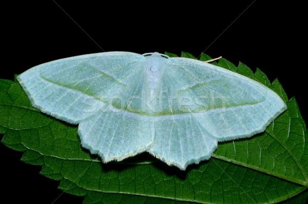 Dogbane Tiger Moth Stock photo © brm1949