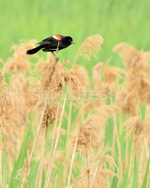 Red-winged Blackbird Stock photo © brm1949