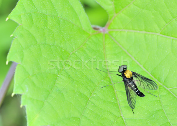 Golden Backed Snipe Fly Stock photo © brm1949