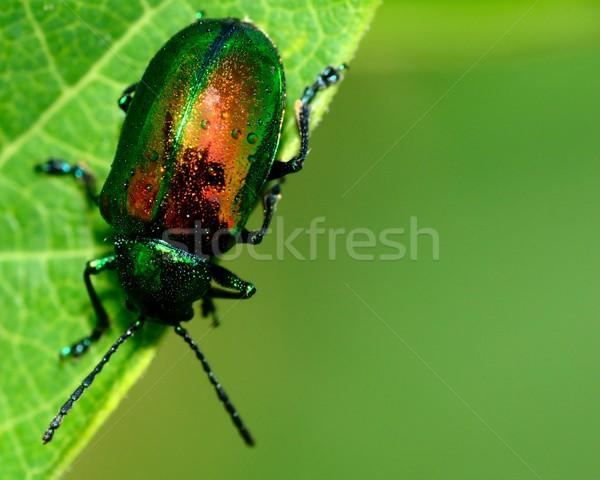 жук зеленый завода лист дерево природы Сток-фото © brm1949