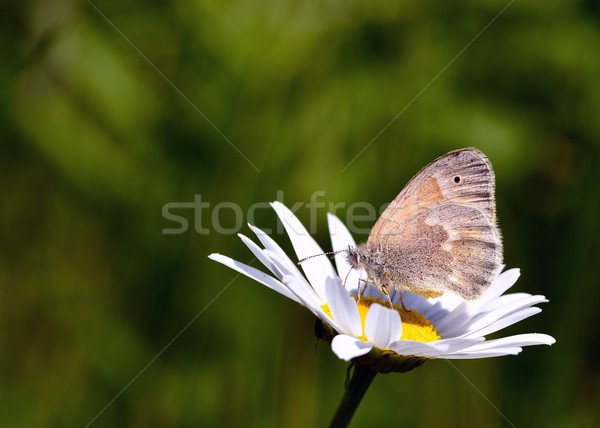 Common Ringlet Butterfly Stock photo © brm1949