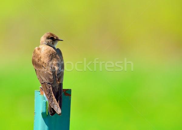 Barn Swallow Stock photo © brm1949