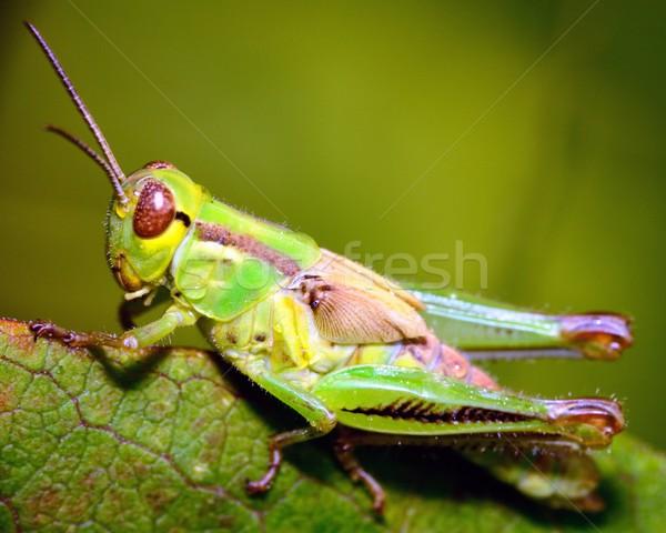 Konik polny zielone roślin trzon głowie zwierząt Zdjęcia stock © brm1949