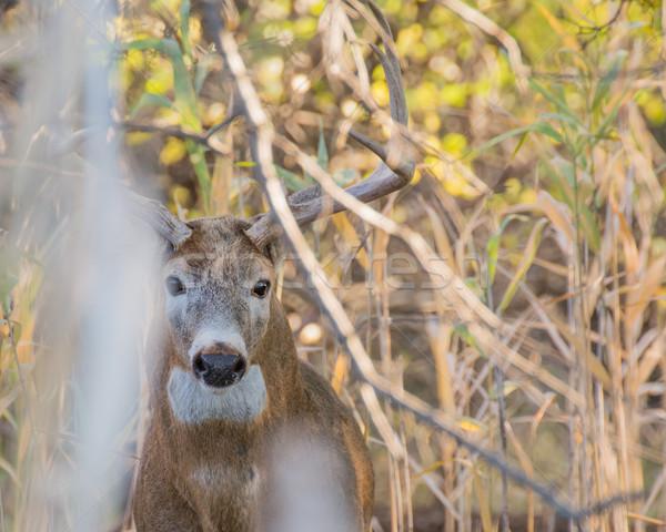 Cervo buck nascondere natura trofeo boschi Foto d'archivio © brm1949