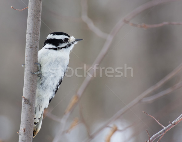 Downy Woodpecker Perched Stock photo © brm1949
