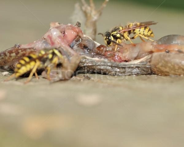 Wesp verzamelen eiwit dode kikker Maakt een reservekopie Stockfoto © brm1949