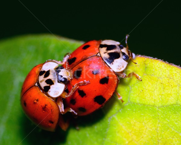 Mating Ladybugs Stock photo © brm1949