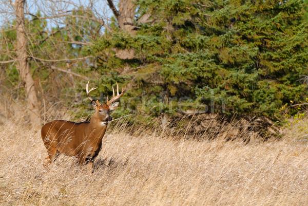 Herten reebok permanente veld dier trofee Stockfoto © brm1949