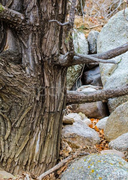öreg fenyőfa vmi mellett hegyek tapéta textúra Stock fotó © brm1949