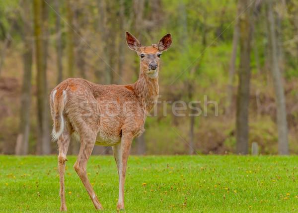 鹿 バック 冬 コート 動物 トロフィー ストックフォト © brm1949