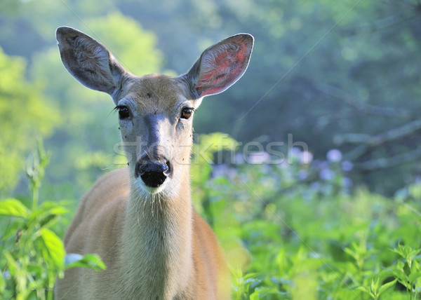 Whitetail Deer Doe With Mosquitoes Stock photo © brm1949