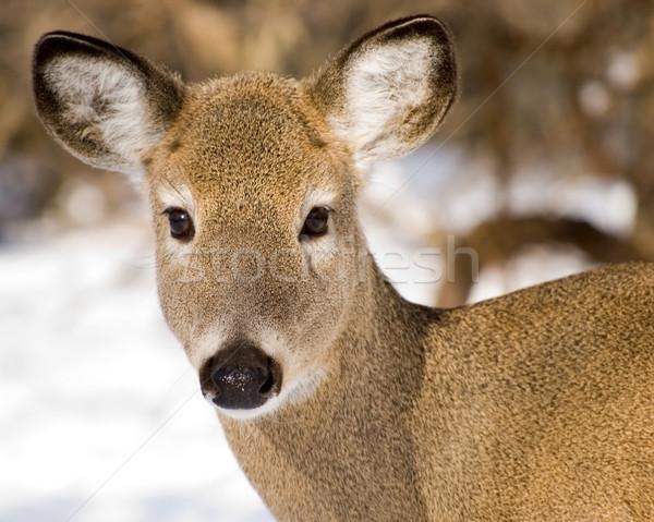 Whitetail Deer Doe Closeup Stock photo © brm1949