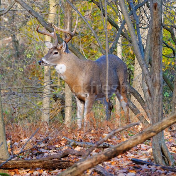 Whitetail Deer Buck Stock photo © brm1949