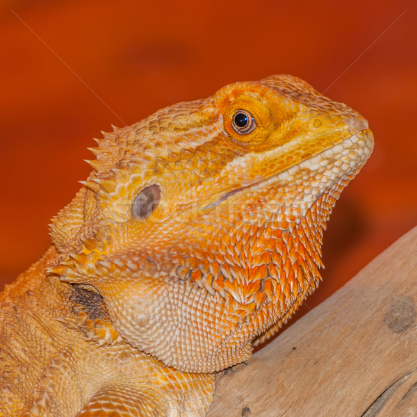 Bearded Dragon  Stock photo © brm1949