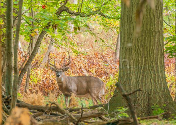 Stock photo: Whitetail Deer Buck