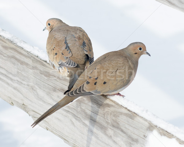 Mourning Doves Stock photo © brm1949