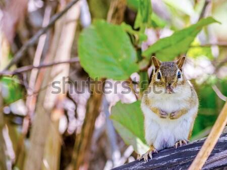 çizgili sincap doğa yaban hayatı memeli Stok fotoğraf © brm1949