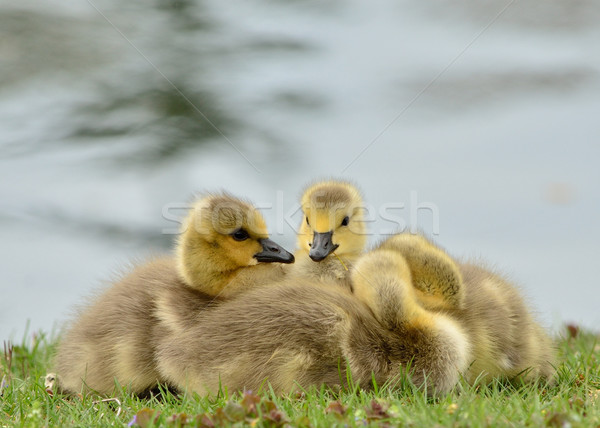 Canada Goose Goslings Stock photo © brm1949