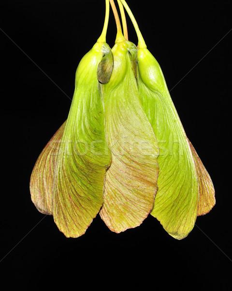 Maple Tree Seeds Stock photo © brm1949