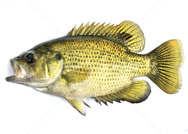 Rock Bass, (Ambloplites rupestris) Stock photo © brm1949