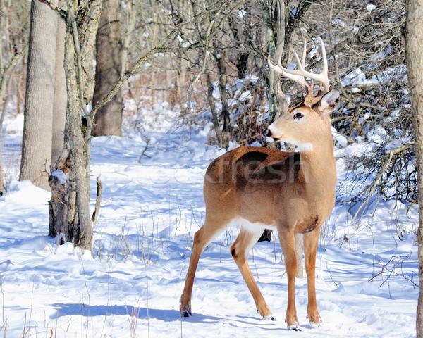 Szarvas dolcsi áll erdő természet Stock fotó © brm1949