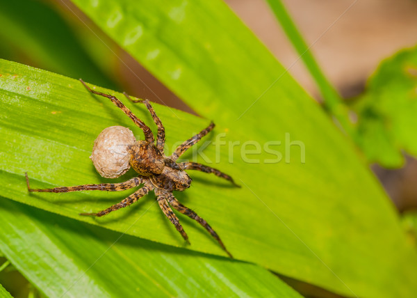 Wolf Spider  Stock photo © brm1949