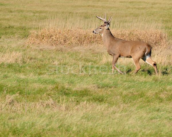 鹿 バック 立って フィールド ストックフォト © brm1949