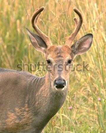 鹿 バック 夏 ベルベット 立って フィールド ストックフォト © brm1949