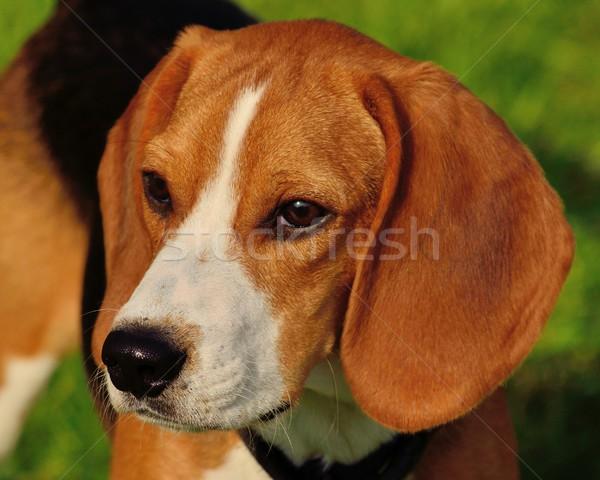 Beagle primo piano testa shot fuori parco Foto d'archivio © brm1949