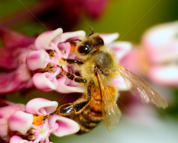 Stockfoto: Honingbij · verzamelen · stuifmeel · bloem · zomer · plant