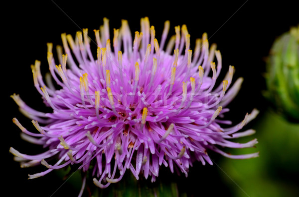 Thistle Blossom Stock photo © brm1949