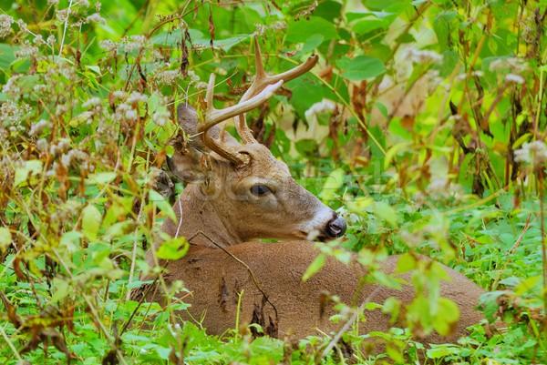 оленей доллар вниз животного трофей лесу Сток-фото © brm1949