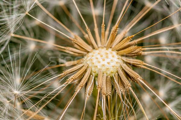 タンポポ 種子 マクロ クローズアップ ショット 花 ストックフォト © brm1949