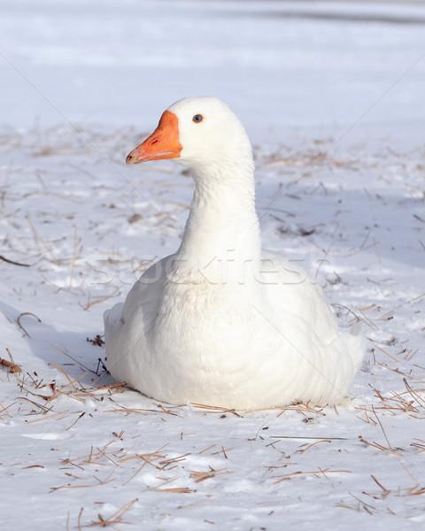 White Goose Stock photo © brm1949