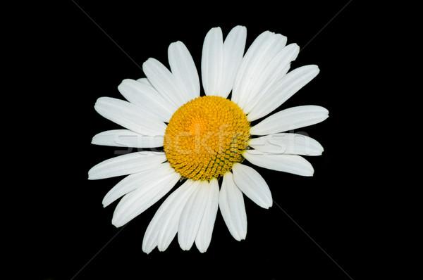 Daisy Closeup  Stock photo © brm1949