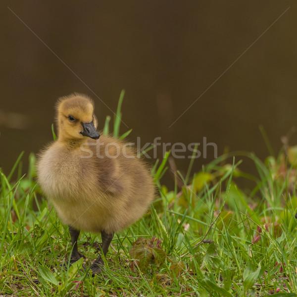 Foto stock: Canadá · ganso · sessão · grama · pássaro · jovem