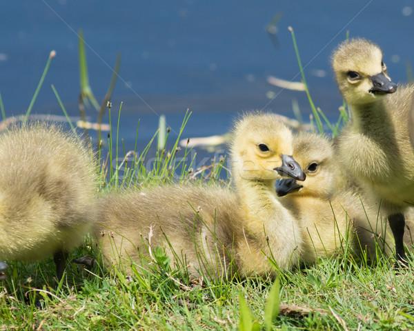 Canadá ganso três sessão grama pássaro Foto stock © brm1949